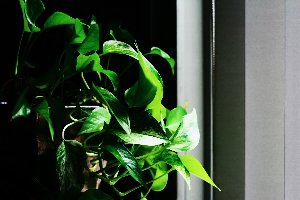 golden pothos.jpg