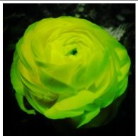 ranunculus-yellow.JPG